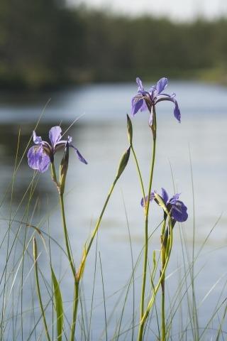 Blue iris in a wetland